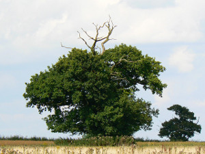 The Gibbet Tree at Fulbrook